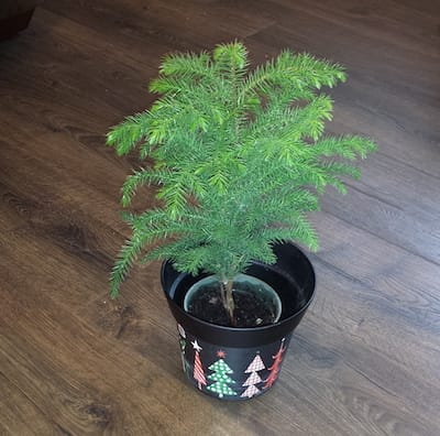 Our new Norfolk Pine houseplant and Christmas tree