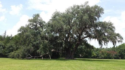Biggest live oak outside Gainesville, FL
